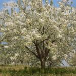 cerisier de pied