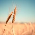 wheat-865152_1280